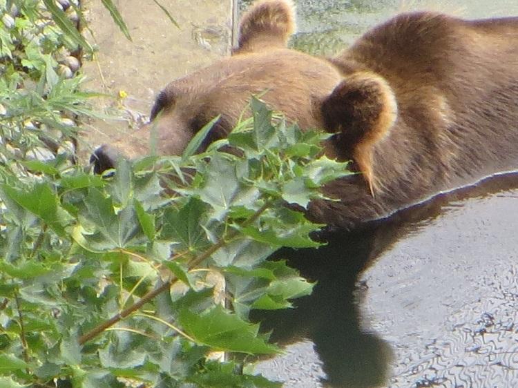 urso em Berna, Suíça